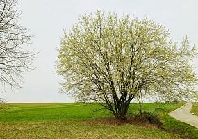Blühende Salweide