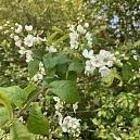 Traubenkirsche (Prunus padus) in voller Blüte