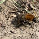 Lehmhügel als Nistplätze für Wildbienen