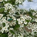 Blattglanzkäfer (Chrysolina) auf Weissdornblüten