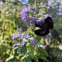 Blaue Holzbiene an Blüte