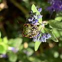Caryopteris Bartblume Wildbiene