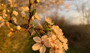 Weißdorn und Schlehen - die reinweissen Frühlingsboten mit vielfältigem Nutzen