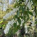 Frühlingsblüher - Hummeln und andere Insekten fliegen darauf