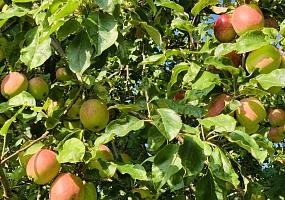 Pflanzung von Hochstamm-Obstbäumen - Erhalt & Neuanlage von Streuobstwiesen